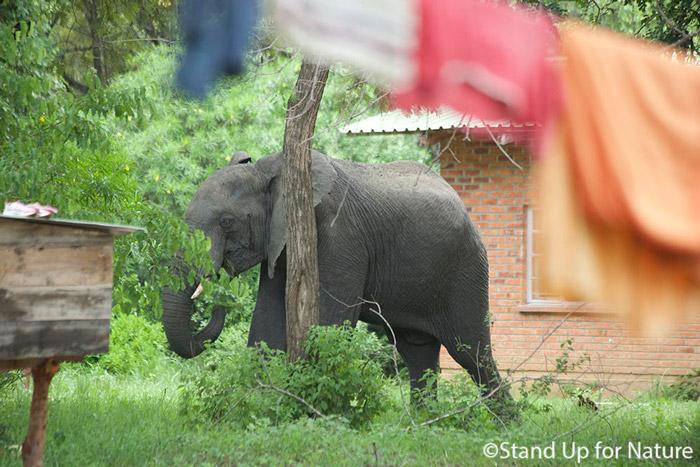 Elephant-in-village