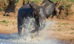 Elephant-splashing-in-the-water