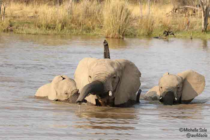 Elephants-crossing-the-river