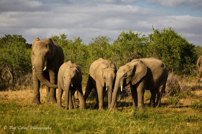 Elephants-enjoy-a-drink