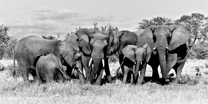 Elephants-stand-guard