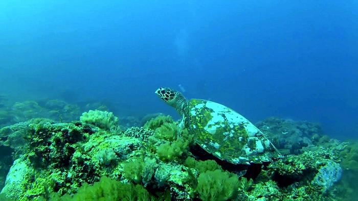 Fanjove-turtle-underwater