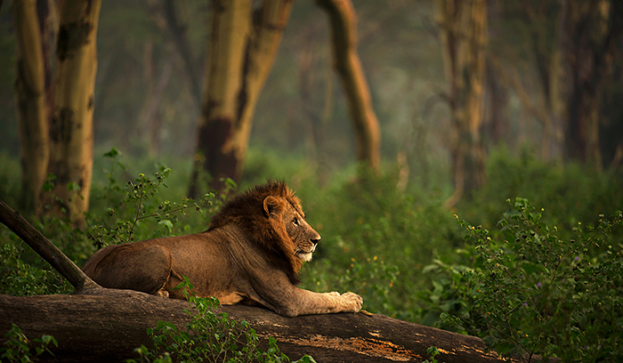 Forest Lion