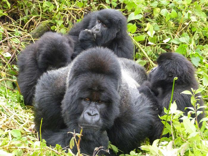 Gorilla-family-Rwanda