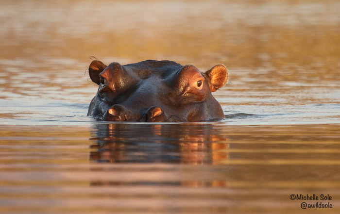 Hippo-in-water