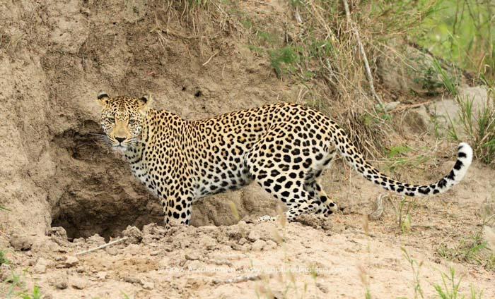 Hunting-leopard-Thlangisa