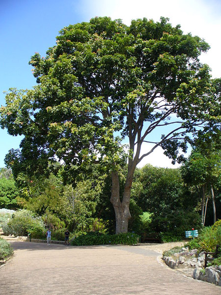 African Mahogany The I Don T Know Tree Africa Geographic
