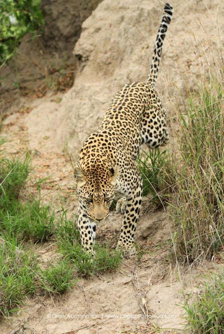 Leaping-leapard-Thlangisa