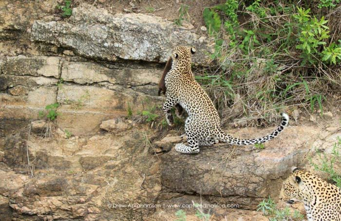 Leaping-leopard-cub