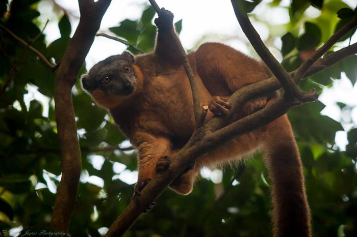 Lemur-in-Madagascar
