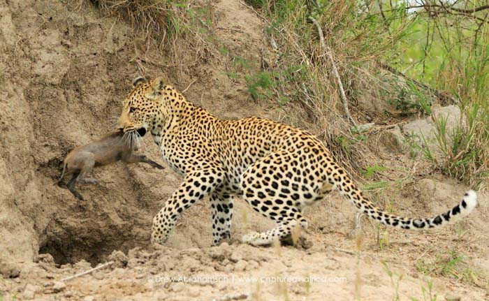 Leopard-and-baby-warthog