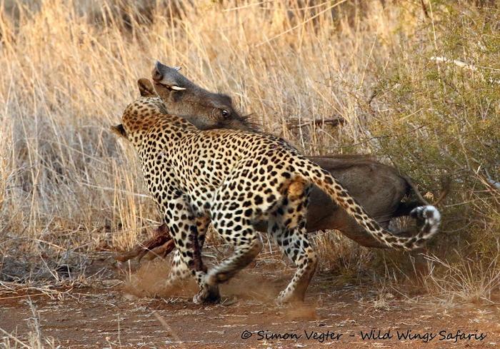 Leopard-attacks-warthog