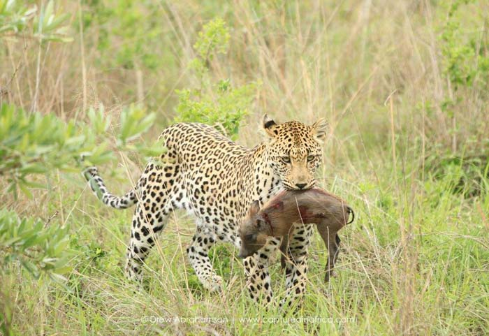 Leopard-carrying-baby-warthog