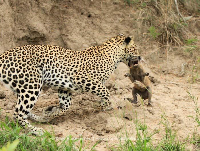 Leopard-catches-baby-warthog