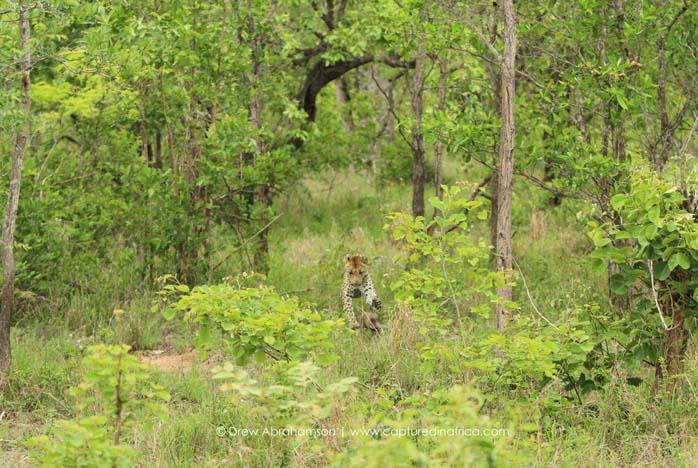 Leopard-chasing-baby-warthog