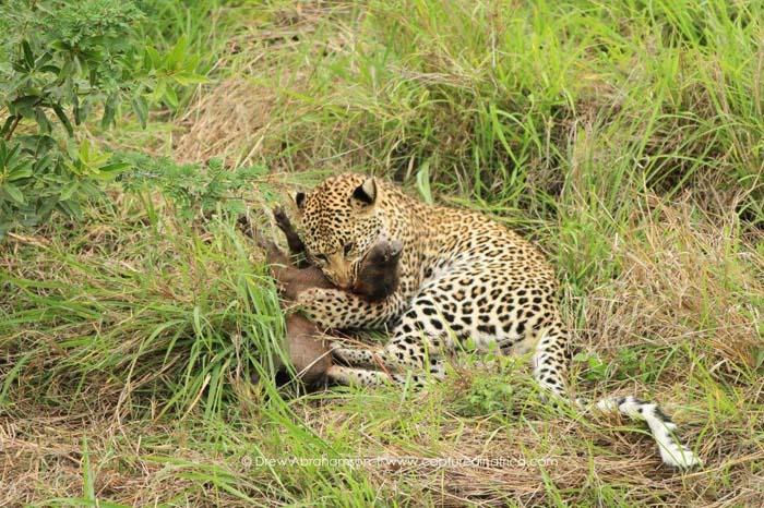 Leopard-cub-eats-warthog