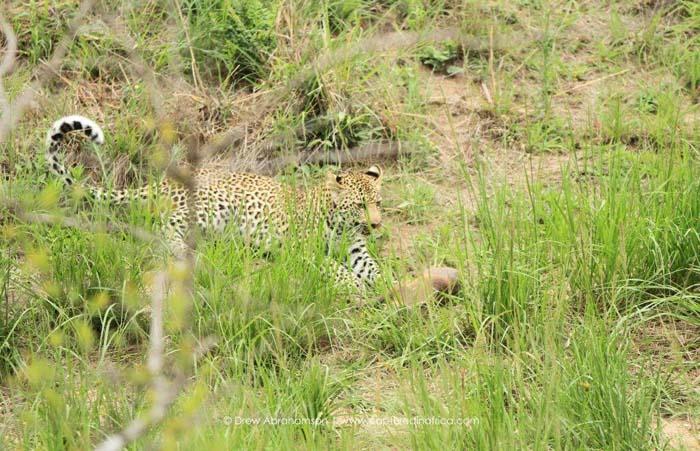Leopard-cub-with-warthog
