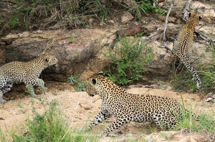Leopard-family