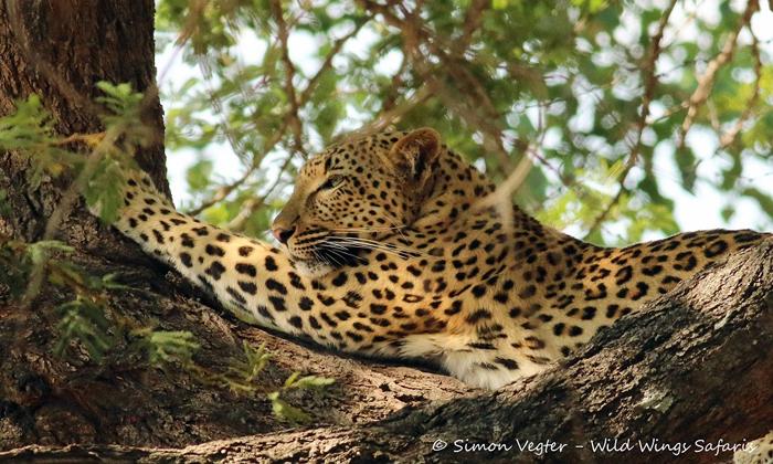 Leopard-in-a-tree