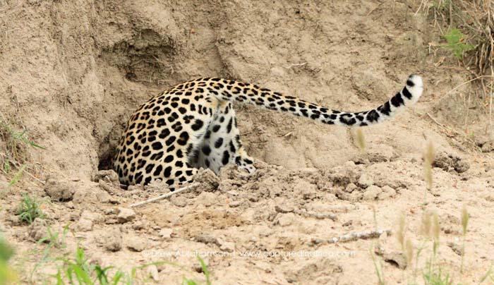 Leopard-in-burrow-Thlangisa
