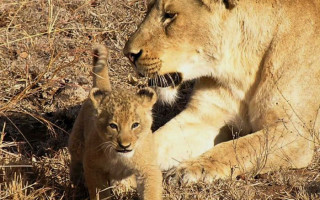 Lion-cub-with-mom
