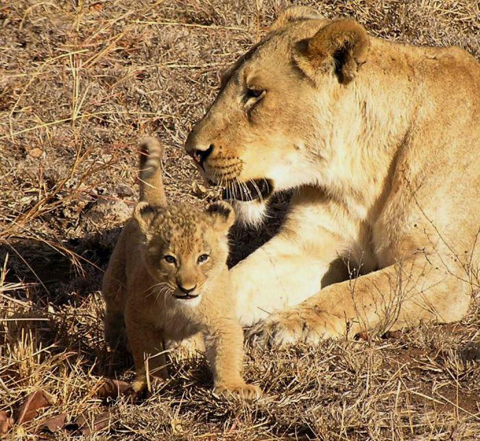 Lion-cub-with-mom