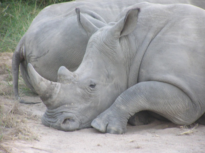 resting-rhino