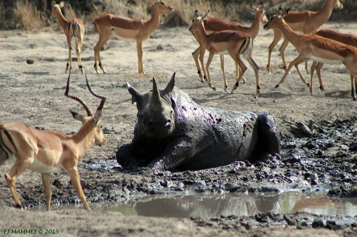 Rhino-in-mud