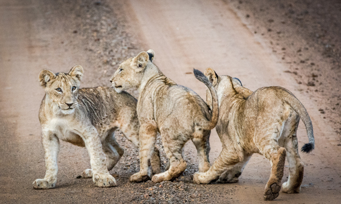 RhinoRiverLodge-lion-cubs