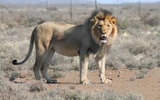 Sylvester-the-Lion-Karoo