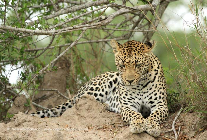 Thlangisa-Leopard-sitting