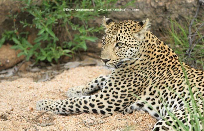 Thlangisa-leopard