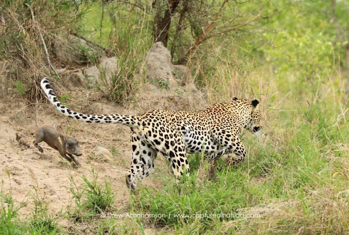 Warthog-running-from-leopard