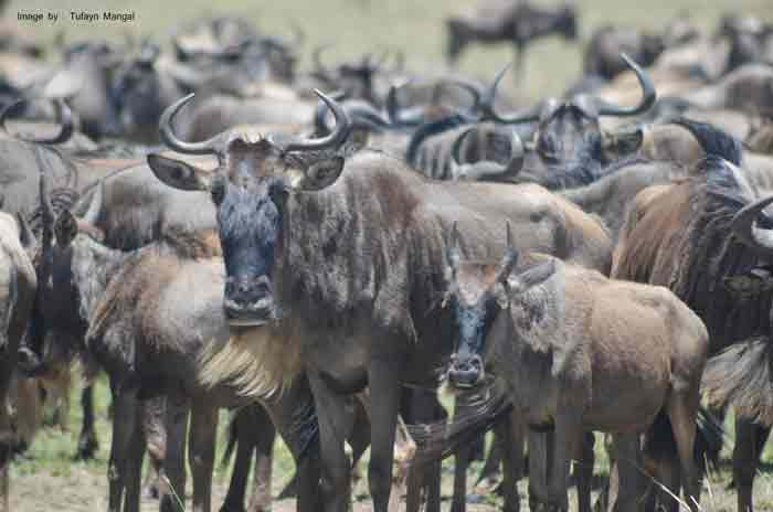 Wildebeest-in-Mara