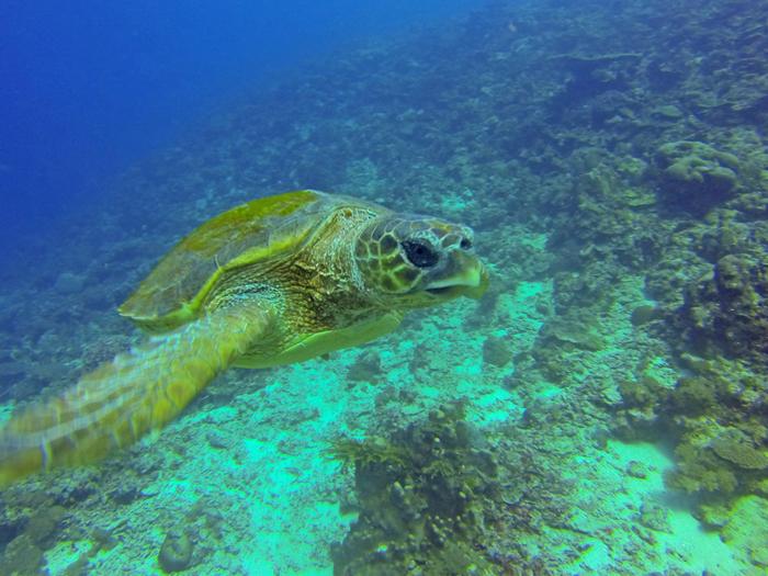 adult-Turtle