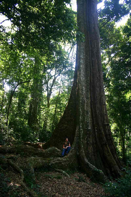 Big Tree at Chirinda Forest