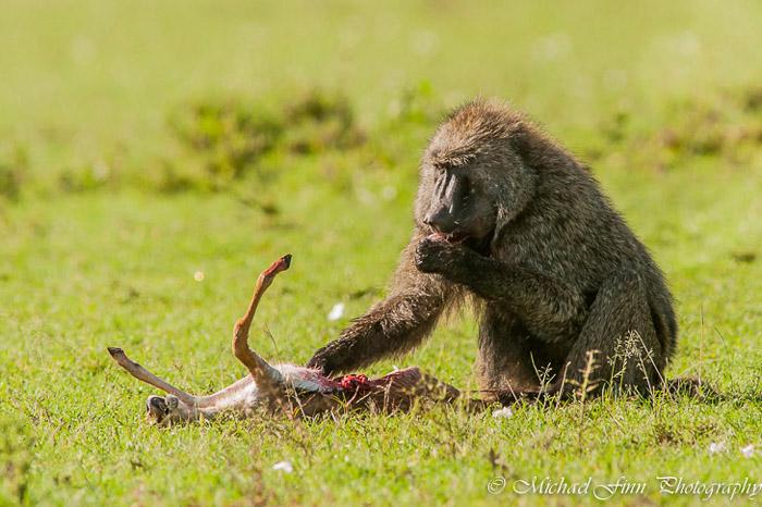 baboon-maasai-mara-kenya