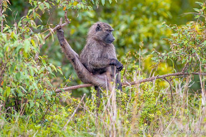 baboon-maasai-mara