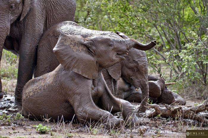 baby-elephant-takes-a-dip