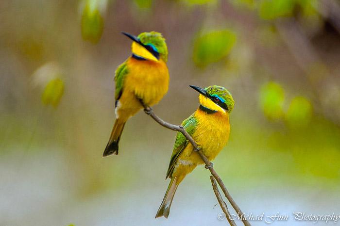bee-eaters-maasai-mara
