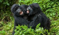 bickering-gorillas