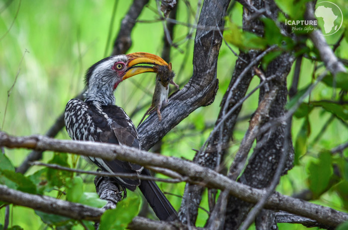 bird-photography-hornbill