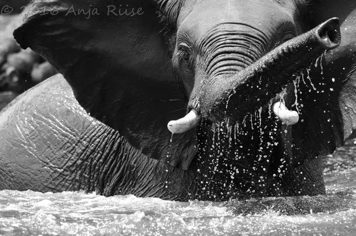 black-and-white-elephant