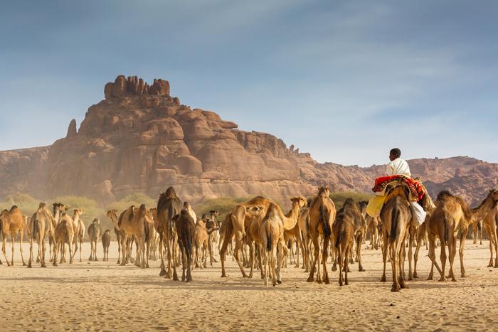 camels-en-route-chad
