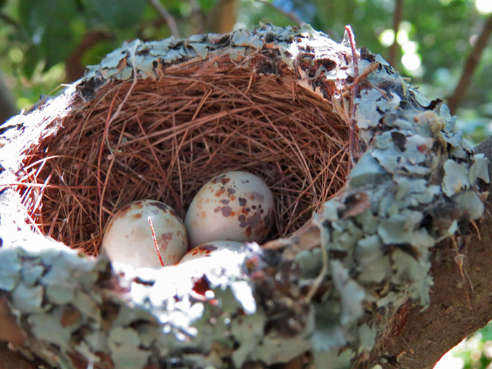 Gardening for birds  - Cape batis eggs ©Kevin Shields