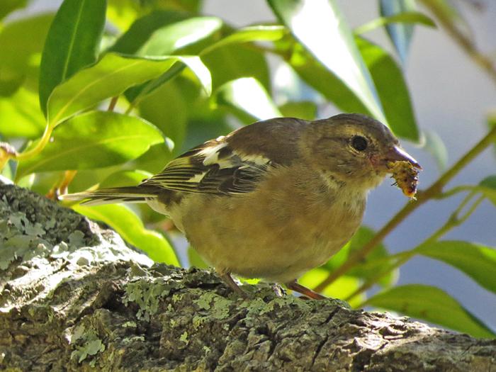Gardening for birds  - A chaffinch ©Kevin Shields