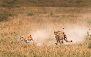cheetah-chase-roie-gallitz