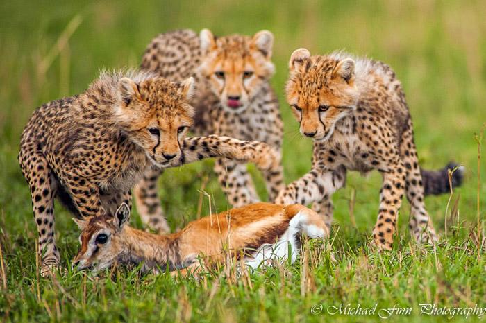cheetahs-maasai-mara