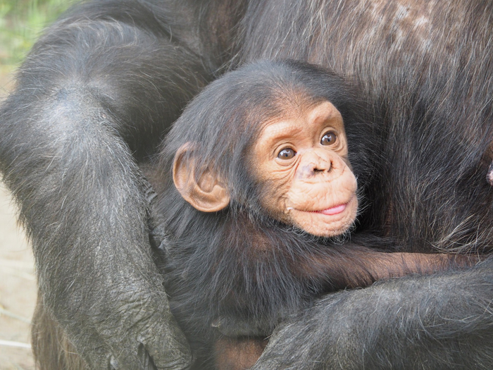 Getting personal with chimps in Tanzania - Africa Geographic