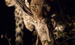 curious-leopard-cub